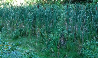 A small wetlands, cat-tail reeds and all.
