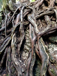 Beautiful roots of a strong tree in the Elora Gorge. Gorgeous. Weather-worn. How old??